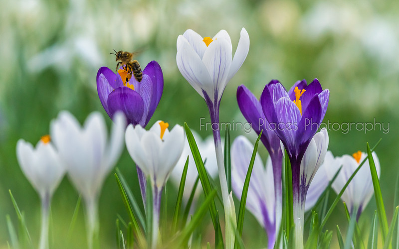 Crocus Bumblings