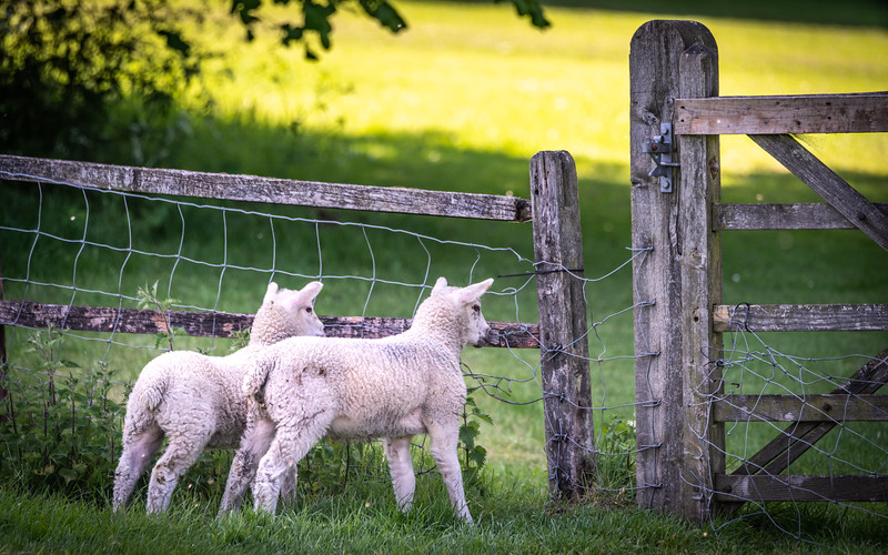 Lambs At The Gate