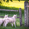 Lambs At The Gate