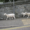 Sheep Walk--Blaenau Ffestiniog, Wales (Slate Mining Town)