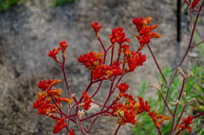 Red Kangaroo Paws