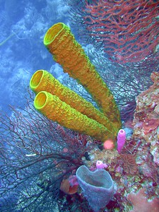 Tube Sponges, UNESCO #764 The Belize Barrier Reef