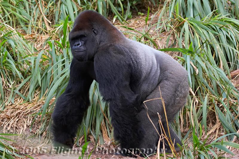 A Gorilla takes a walk