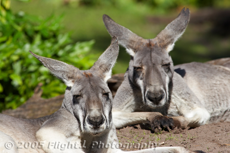 Two Gray Kangaroos
