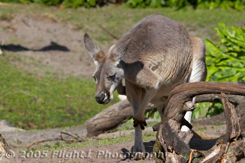 A gray Kangaroo