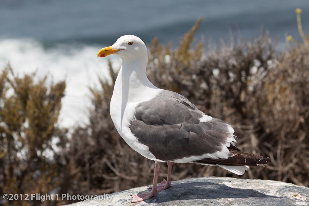 Big Sur sea gull