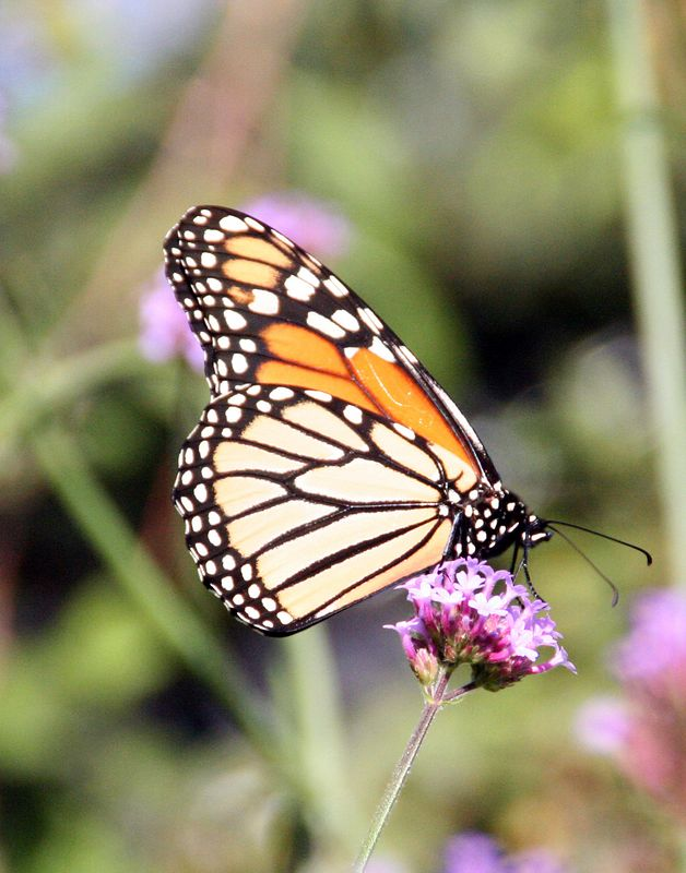 """Prescott Park includes over 10 acres of prime waterfront property along the Piscataqua River. Many butterflies can be found in the """"Main Garden""""."""