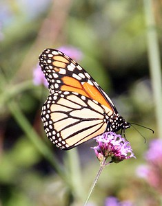 "Prescott Park includes over 10 acres of prime waterfront property along the Piscataqua River. Many butterflies can be found in the ""Main Garden""."