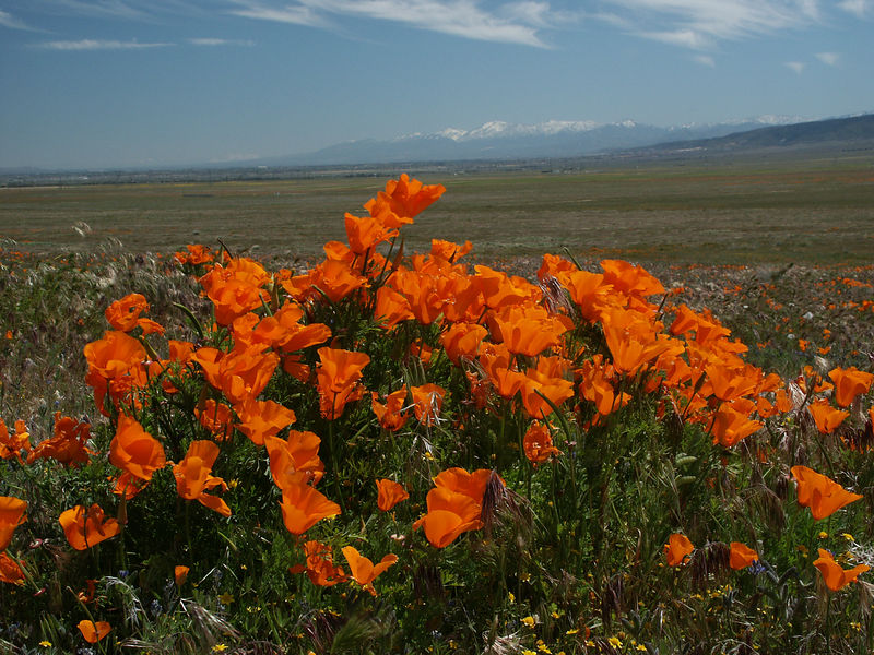 Antelope Valley is the only large field left where you find various kind of poppies.