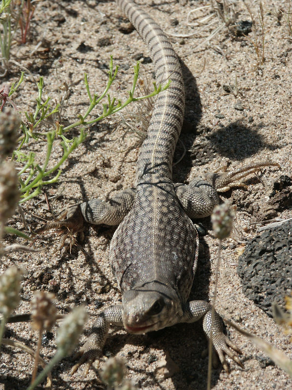 Side-Blotched Lizard: This is one of the smallest, and one of the most abundant of our lizards. They live short lives, usually less than two years, but keep their numbers up by producing many young.