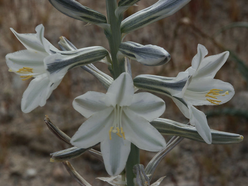 Desert Lilly: Large, cream-colored, funnel-shaped flowers, 2-1/2 inches wide, bloom March through May. Flowers have 6 petal-like segments, each with a silver-green band on the back.