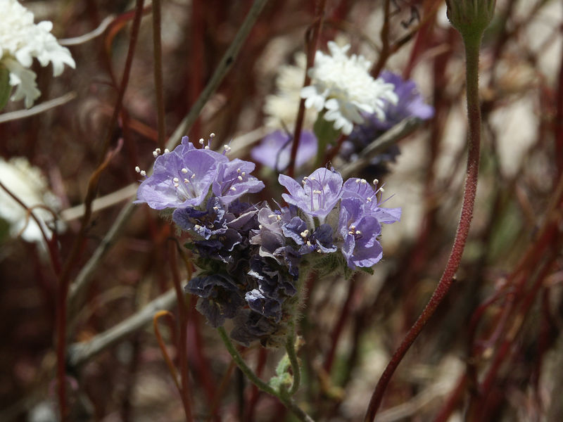 Blue Phacelia: Bell-shaped, pale blue flowers with 5 rounded, united petals, bloom February through June. Flowers are about 1/4 inch wide, in finely haired, terminal coils.