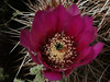 Barrel Cactus flower: Most barrel cactus have 1-1/2 to 2-1/2 inch yellow-green or red flowers growing in a crown near the top of the stem. Most species bloom April through June.