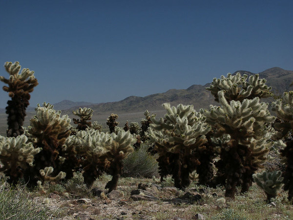 Cholla Cactus garden in Joshua Tree NP: Cholla is a term applied to various shrubby cacti of this genus with cylindrical stems composed of segmented joints. These stems are actually modified branches that serve several functions -- water storage, photosynthesis and flower production.