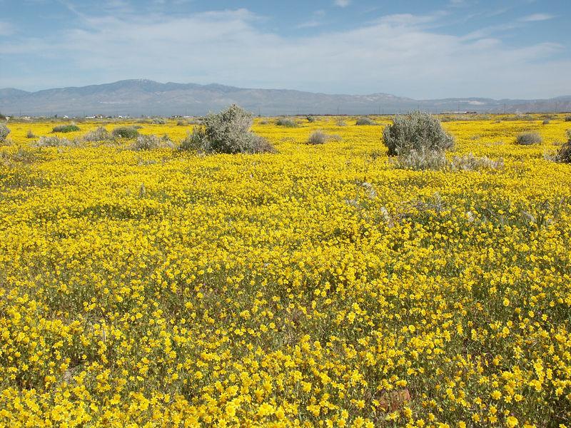 Lancaster: Goldfields in full bloom.