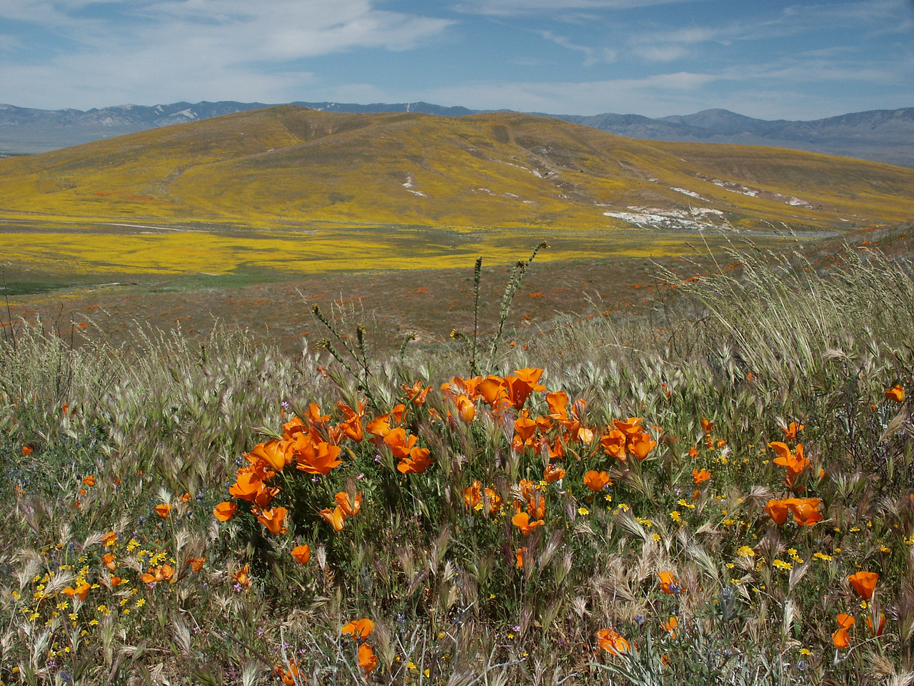 California Poppy was named the State flower in 1903.