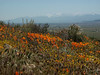 Perennial poppies with San Bernardino range in the background.