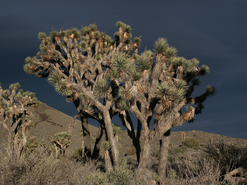 The Joshua Tree, the largest of the yuccas, grows only in the Mojave Desert and Joshua Tree NP.