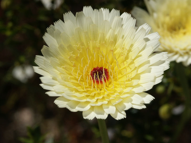 Desert Chicory: White flower heads, 1 to 1-1/2 inches wide, composed of rays as long as 5/8 of an inch, bloom March through May.