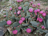 Beavertail Cactus (Tiny barbed spines).