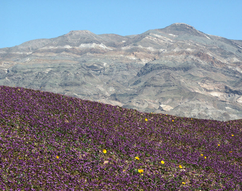 Bed of phacelias in front of Southern Funeral Mountain Range.
