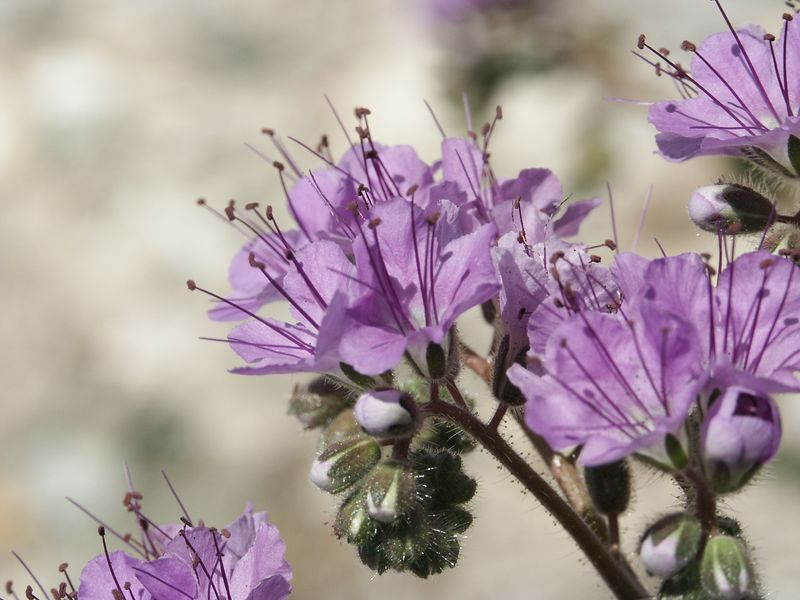 Blue Phacelia: An annual shrub of the Waterleaf Family (Hydrophyllaceae). It often grows up through other shrubs to a height of from one to 3 feet. Green, finely-haired, fern-like leaves and the coiled, scorpion tail arrangement of the flowers are characteristic of this species.