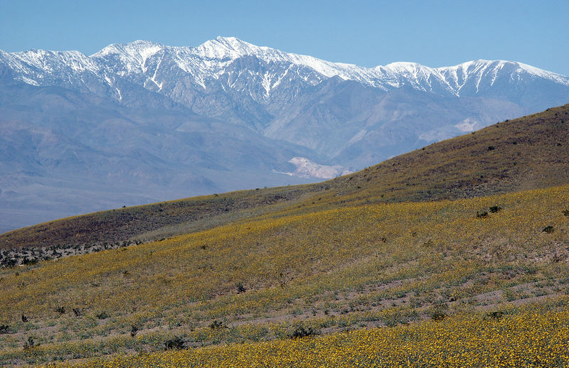 In 2005, the desert wildflower display is SPECTACULAR; in other years blossoms are almost non-existent (Panamint Range in the background).