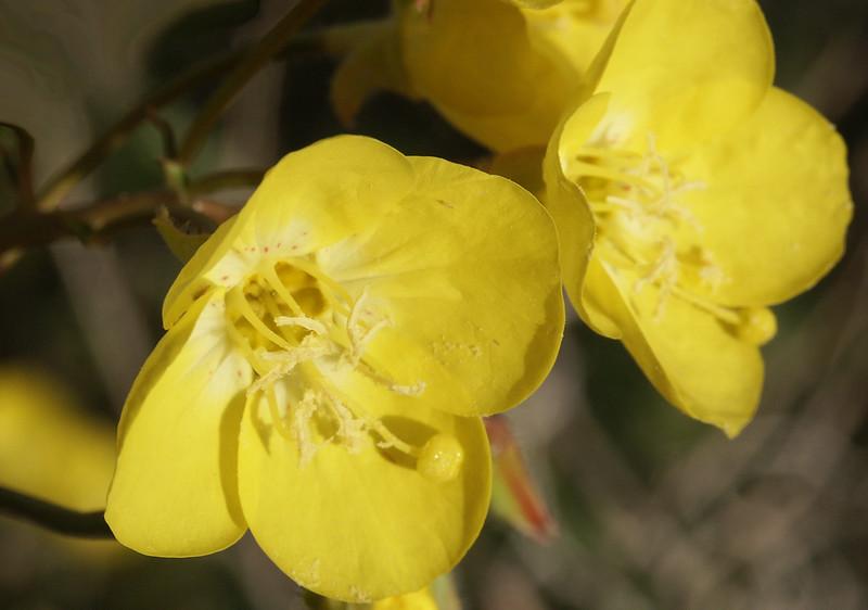 Golden Evening-Primrose: sweet scented flower.
