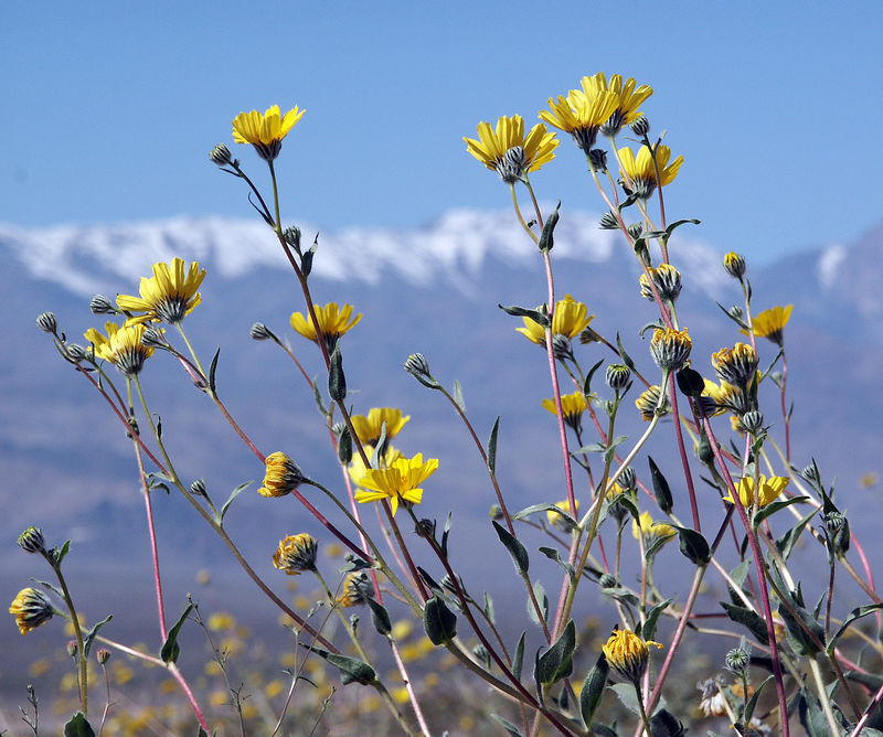 Desert Gold in front of the snowy Panamint range.