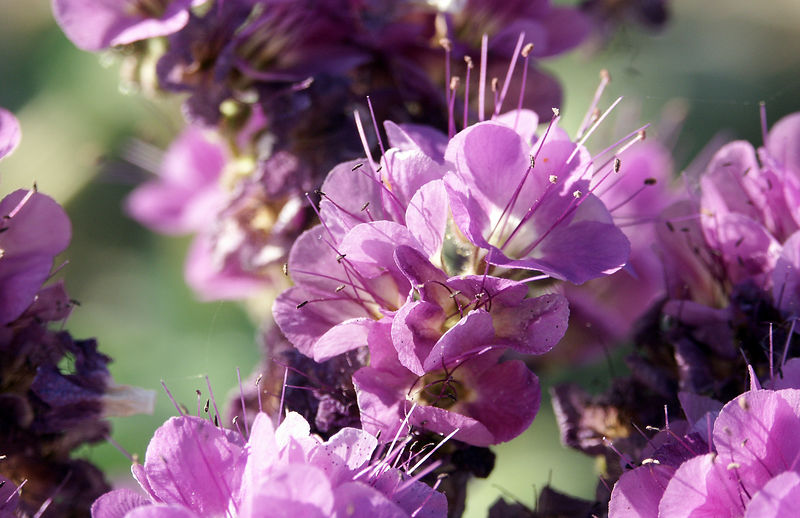 Phacelia: The more than 100 species of Phacelias in the western US, are difficult to distinguish one from another except by seed identification.