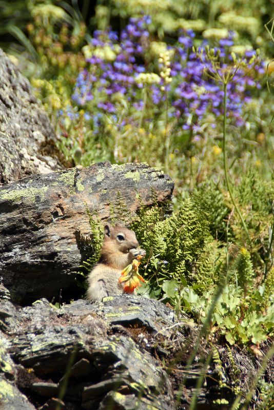 Ground Squirrel eating Indian Paint Brush.