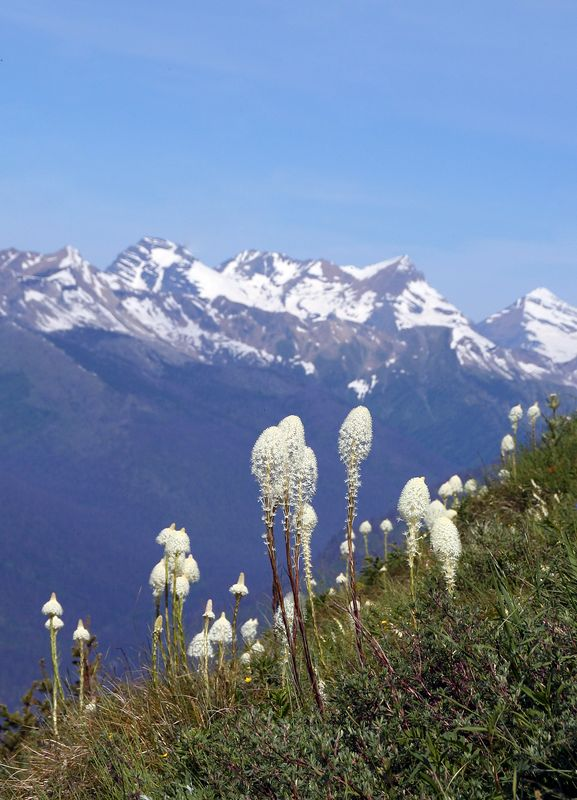 Beargrass on the Highline Trail going from Logan Pass to the Loop.