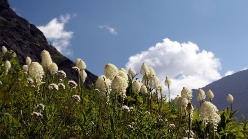 Beargrass. Can grow up to 5 feet tall. Each plant blooms just once every several years.