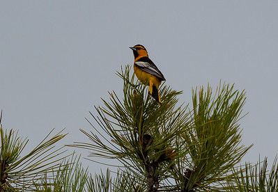 Devils Tower, Bullocks Oriole