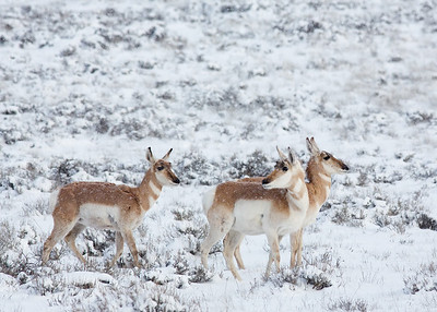 Pronghorn, Bryce Canyon NP