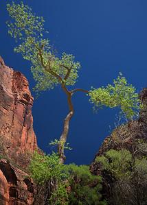 Cottonwood Tree, Zion NP