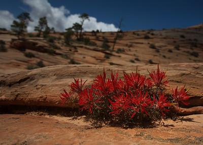 Zion desert flower