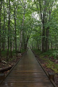 Boardwalk along Jesup Path through a birch forest.