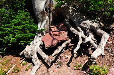 Red slate encased in tree roots - growing with the tree.