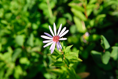 Smooth Blue Aster - Symphyotrichum laeve.