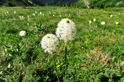 Beargrass - Xerophyllum tenax.