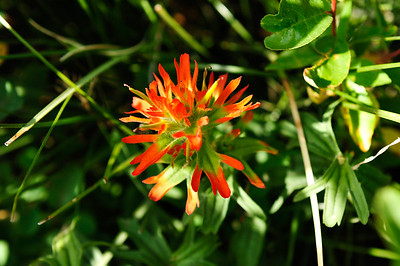 Paintbrush - Castilleja hispida.