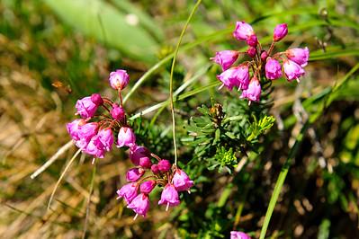 Pink Mountain heathm - Phyllodoce empetriformis.