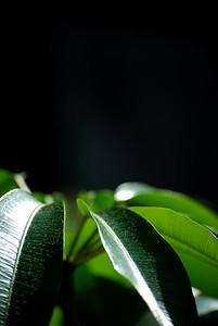 Schefflera (Brassaia actinophylla).
