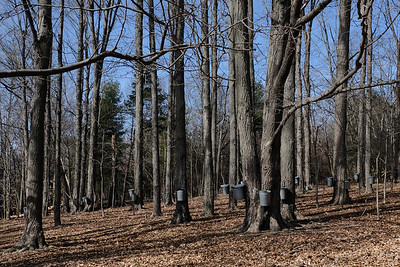 Maple tapping along Bunker Meadows Trail.