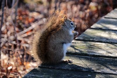 American Red Squirrel (Tamiasciurus hudsonicus).