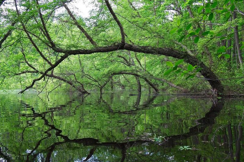 Trees arching into Wenham Lake.