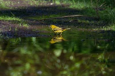 Yellow Warbler (Dendroica petechia), female.
