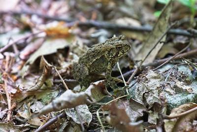 Toadlet - American toad (Anaxyrus americanus).