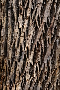 White Ash  tree bark - Fraxinus americana.